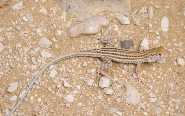 שנונית השפלה / Schreibers Fringe-fingered Lizard / Acanthodactylus schreiberi
