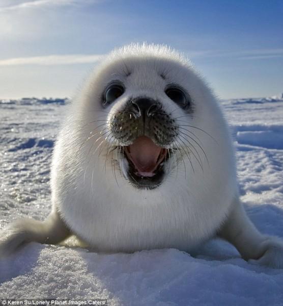 Чудеса. Как тюлень Унгавы из Канады попал на Байкал?