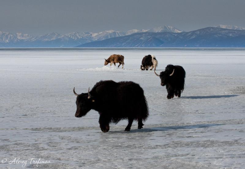Mongolia_2019_04_LS_Bayan-Nuruu_4Yaks-0201.jpg