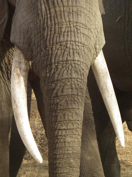 Tanzanian-elephant-tusks