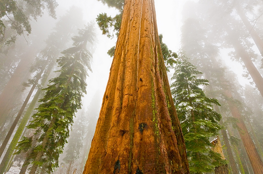 2016-02-04 23-00-04 Photo Sequoia In Fog - John Eastcott et Yva Momatiuk - YellowKorner - Mozilla Firefox