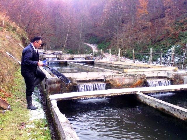 Разведение рыбы форель и карп кои