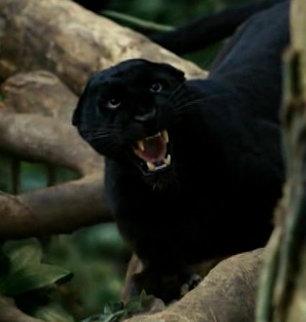ягуар черный фото
