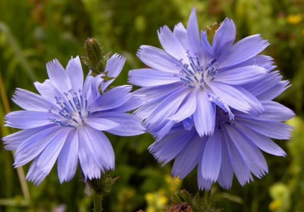 Cicoare-flori-planta
