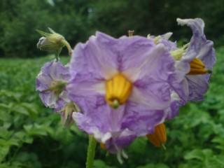 Синий цветок картошки