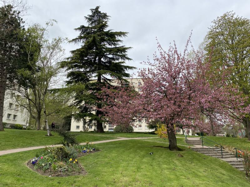 Цветущая вишня в дворике Сен-Клу