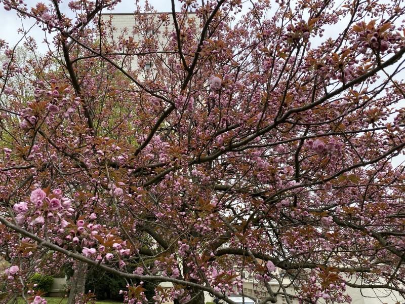 Цветущая cerisier
