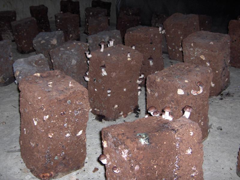 По каждому такому брикету надо сильно ударить кулаком, чтобы грибы начали расти