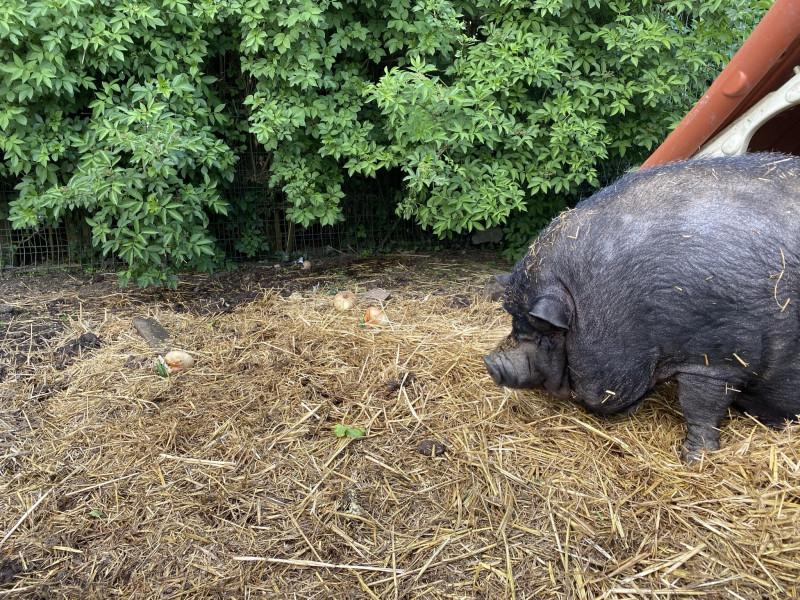 Свин мирно дремал в своем домике, но набежавшие китайские дети его разбудили.
