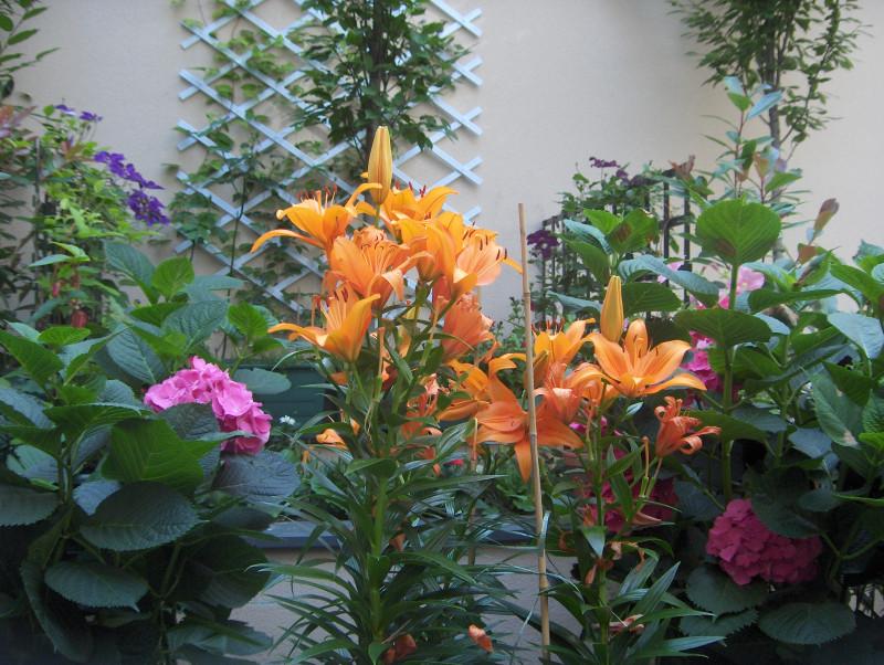 Рыжие лилии — под цвет кота