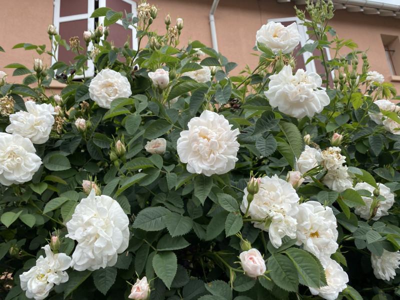 7. Белые розы.