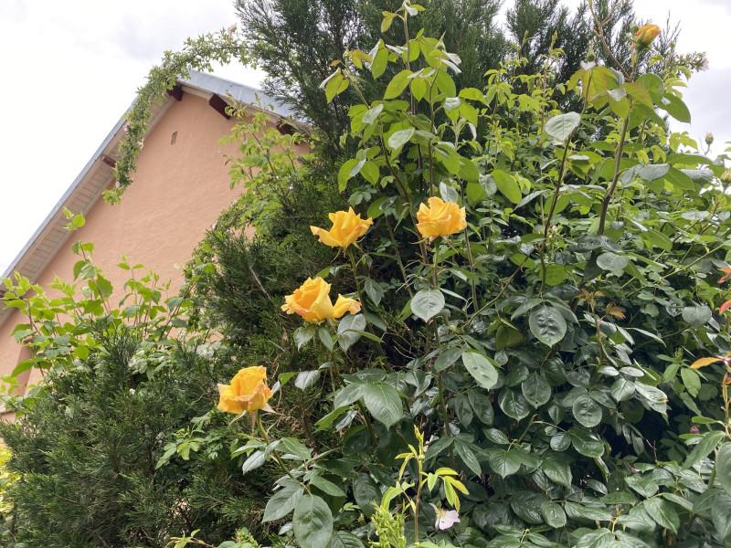 8. Желтые розы.