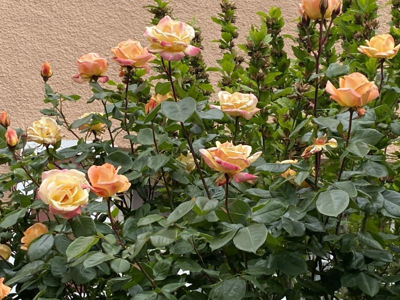 9. Чайные розы.