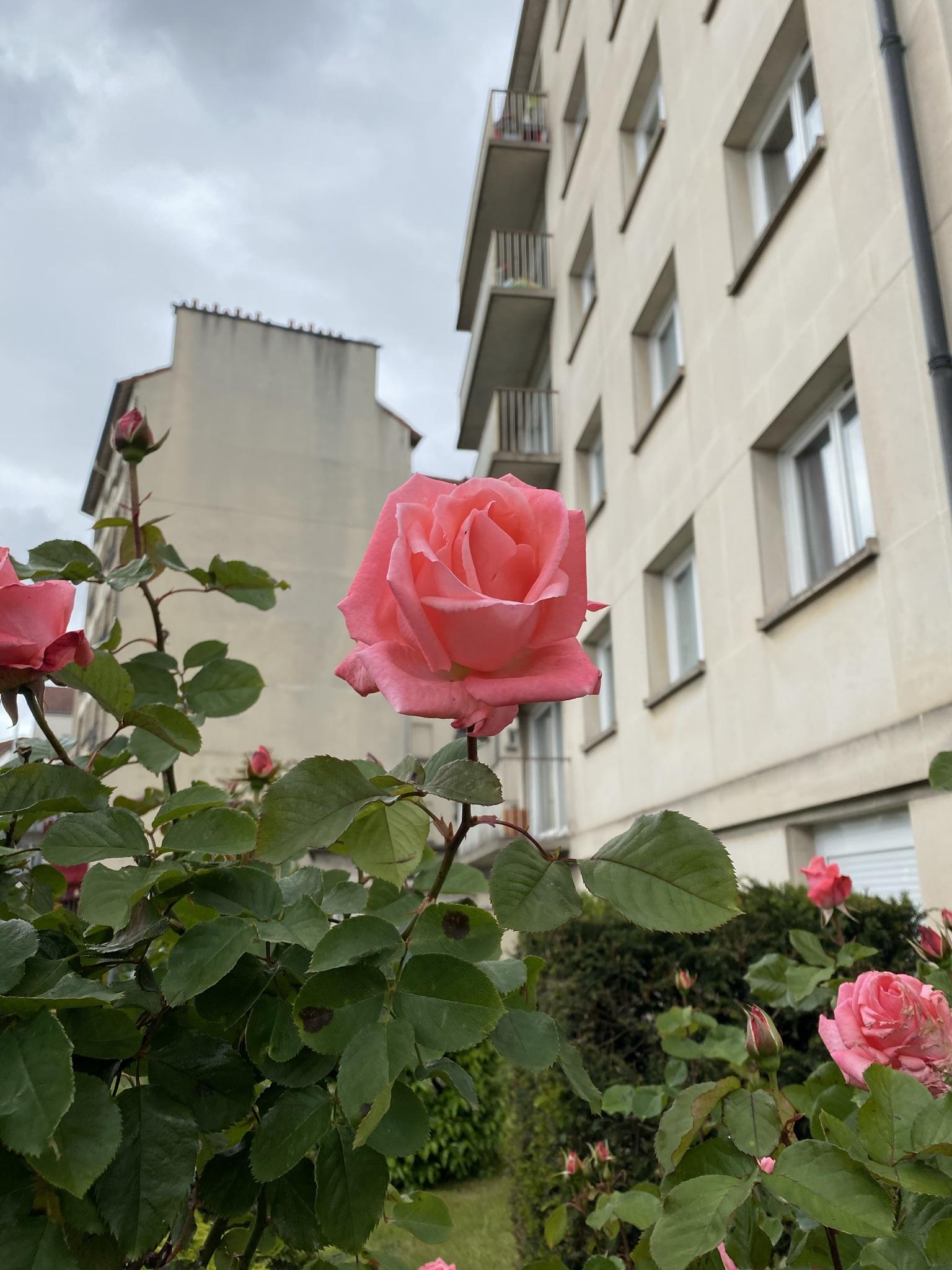 11. Роза на фоне HLM.