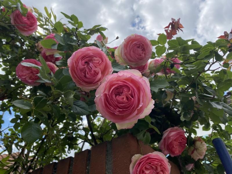 12. Розовые розы