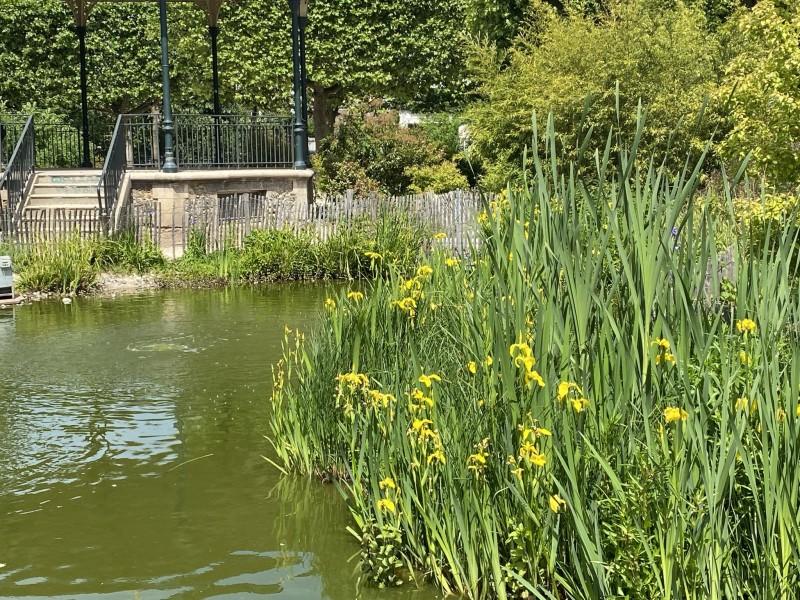 25. Желтые ирисы на берегу пруда.