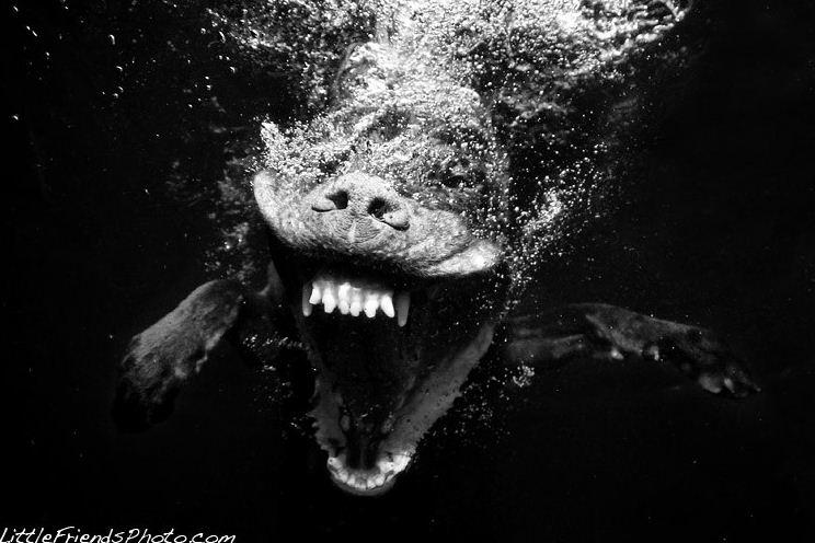dog under water4