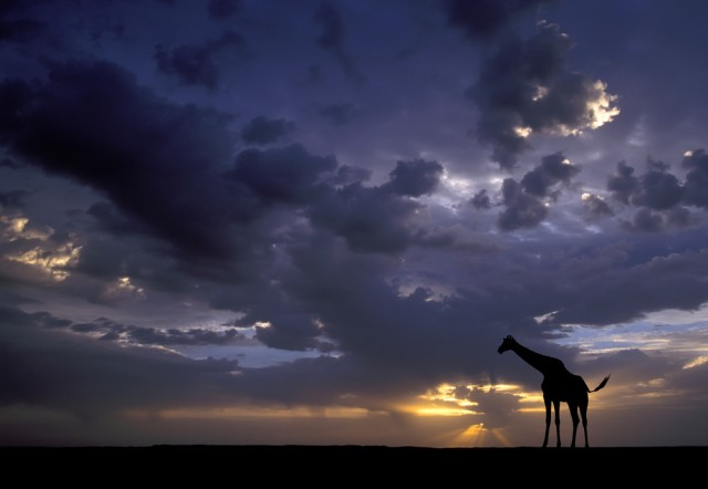 Giraffe-Sunset-copy-640x442