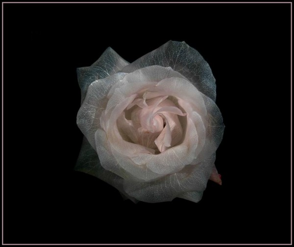 Прозрачная-роза