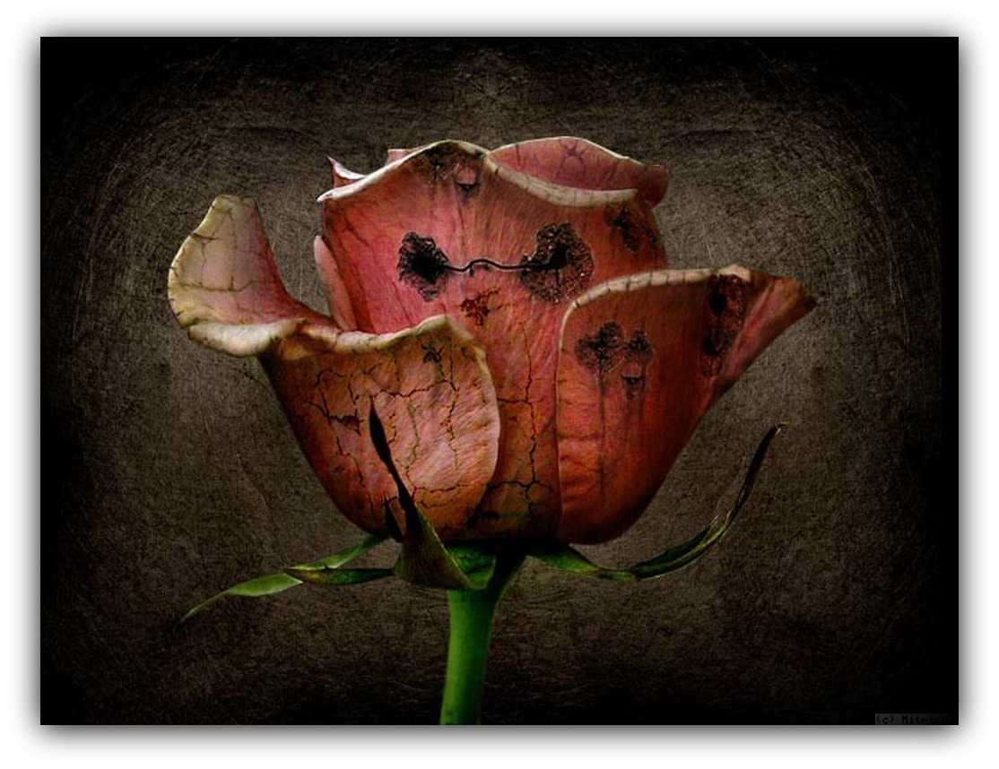 drawing-pictures-dried-roses.jpg