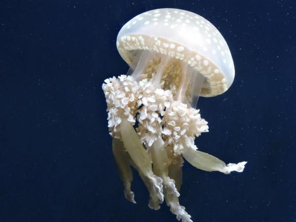 медуза гриб