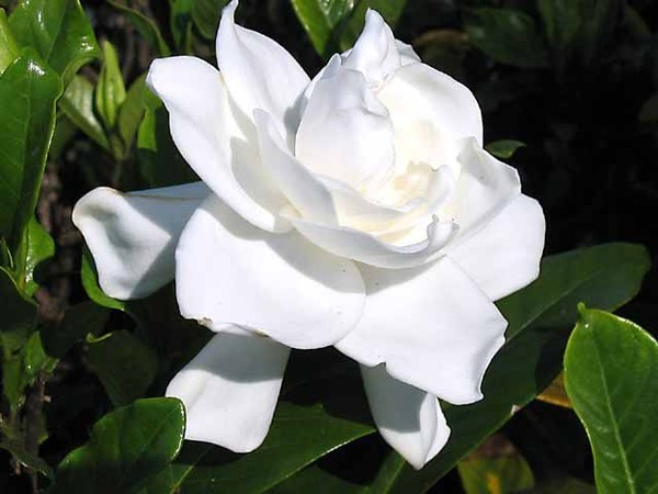 gardenia146_4645