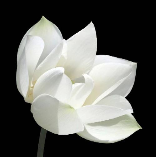 лотос белый