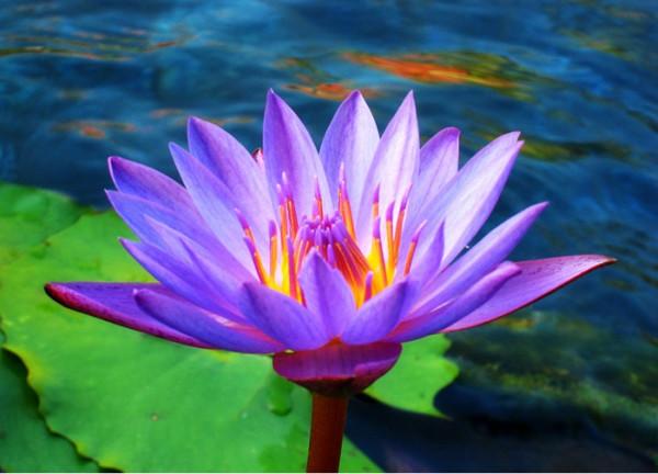 73268864_Lotus_Flower_by_Starfire_013