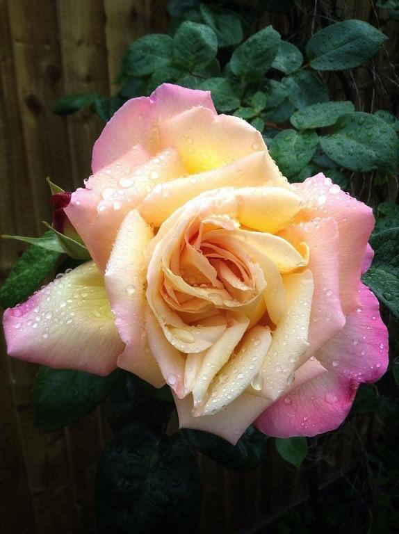 Роза в нашем саду в Уимблдон