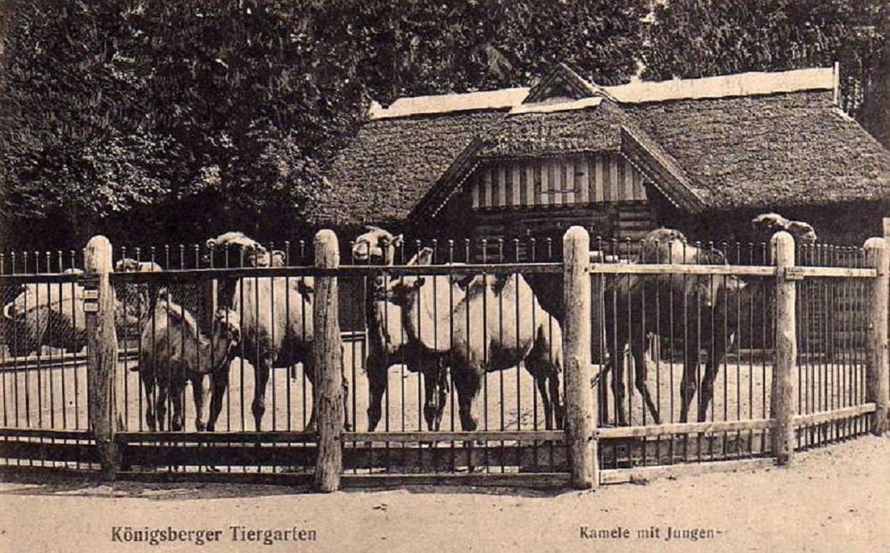 Вольер с верблюдами