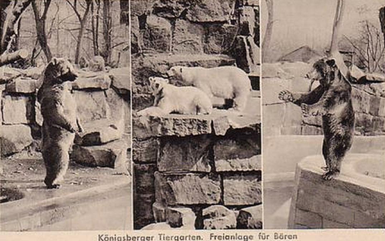 Медведи в Зоопарке Кёнигсберга