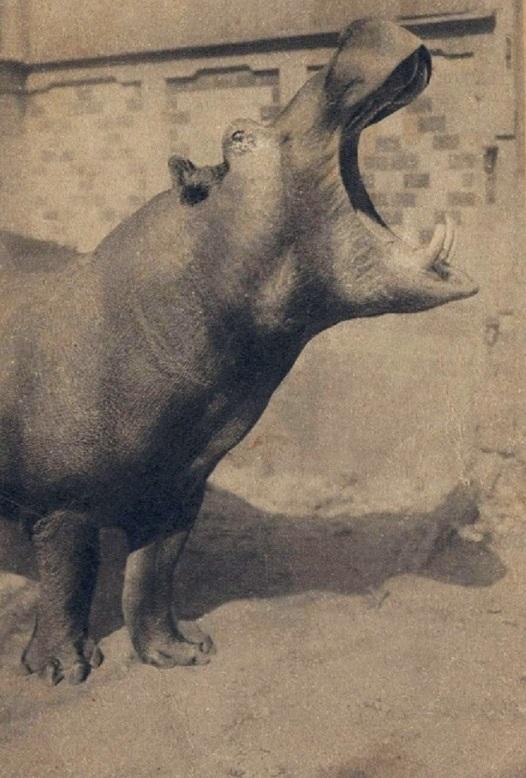 Вольер с бегемотом
