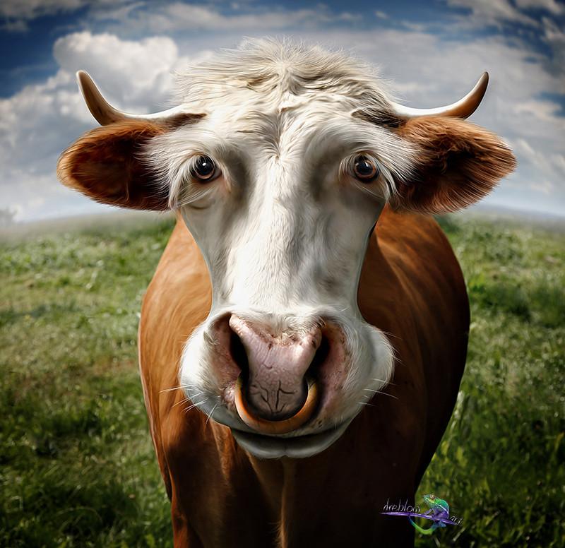 Картинки смешного быка, картинки прикол смотреть