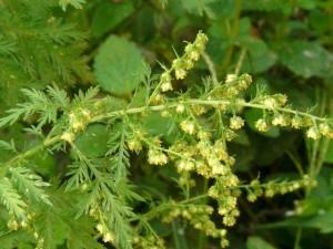 Artemisia_annua