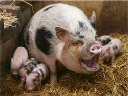 Вспышка африканской свиной чумы в Беларуси