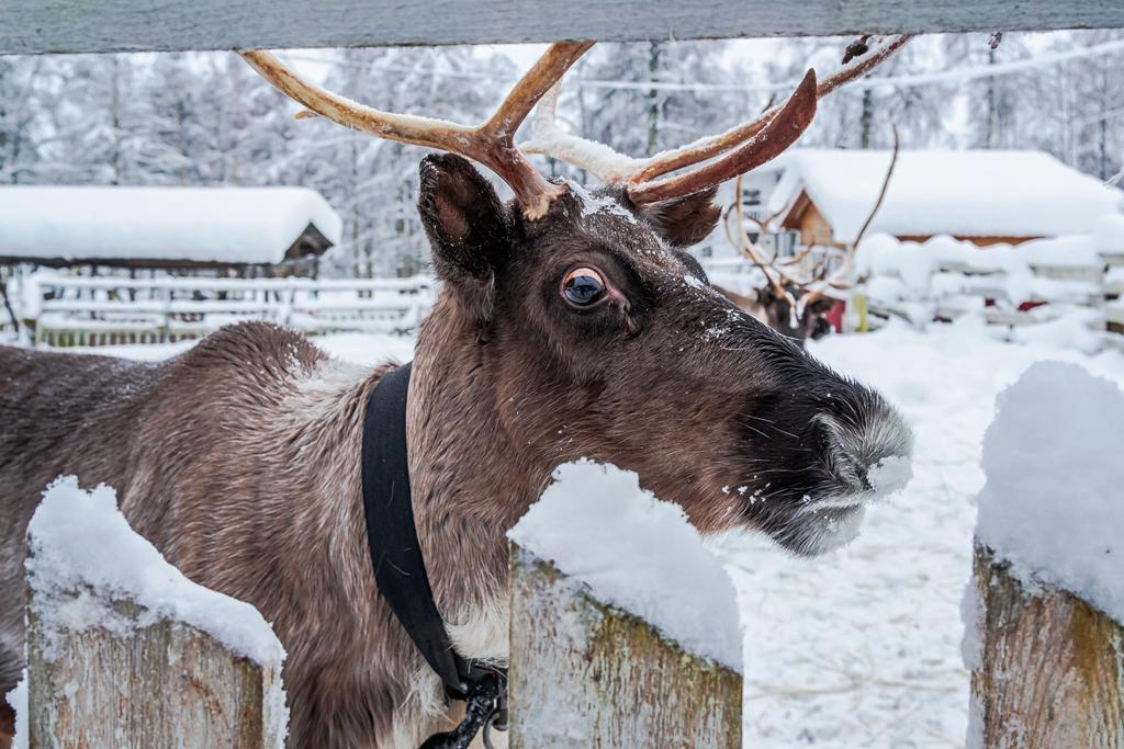 удивленный олень и его портрет