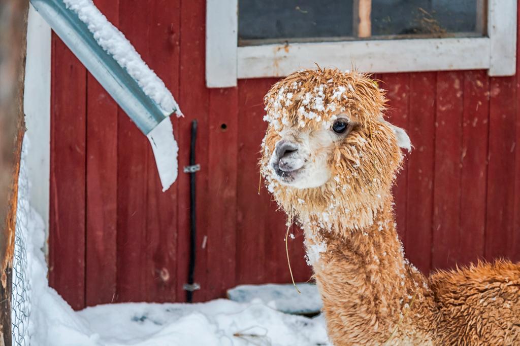 Альпаки зимой жуют снег