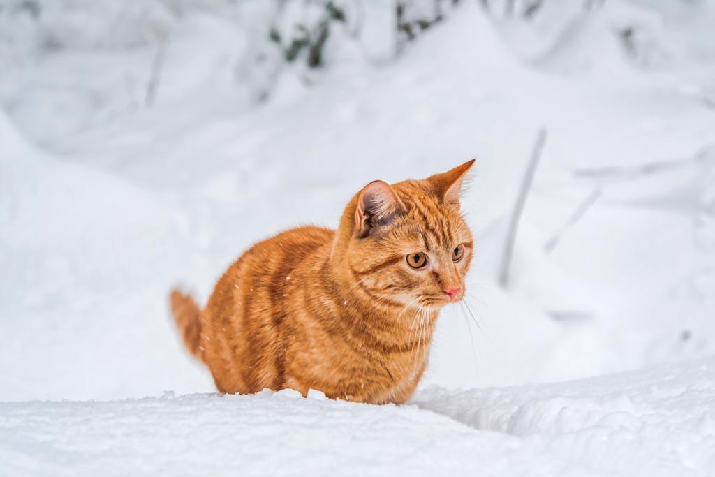 Рыжий кот на снегу
