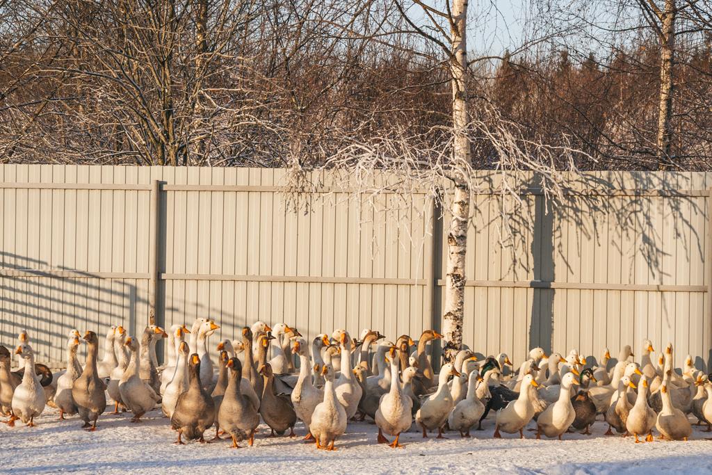 Зачем курицу пичкают антибиотиками и гормонами роста?