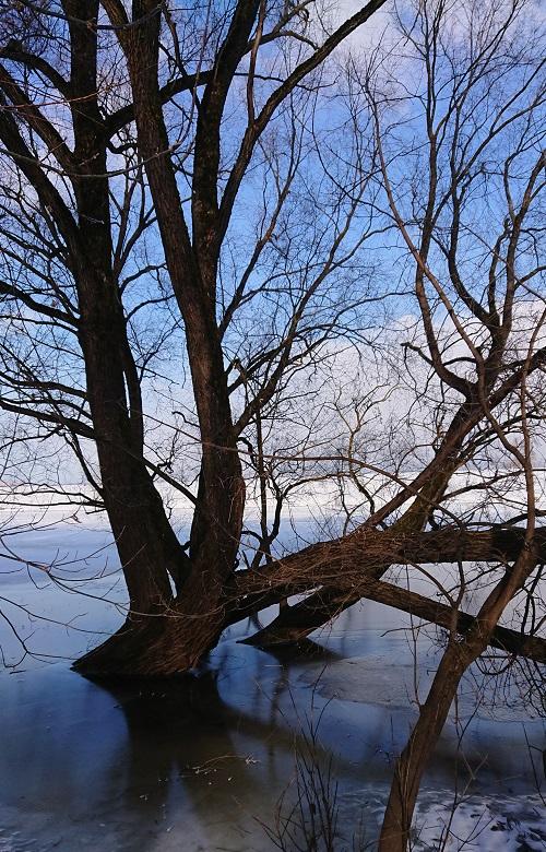 Дерево во льду