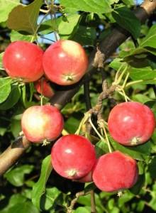 Яблонька-полукультурка горно-алтайская