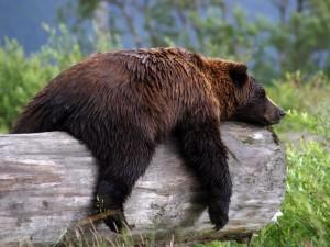 Не будите спящего медведя на аляске