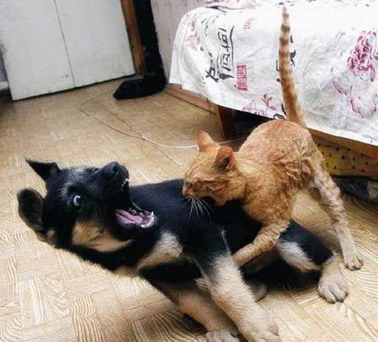 attack-cat-5759-1234992361-9