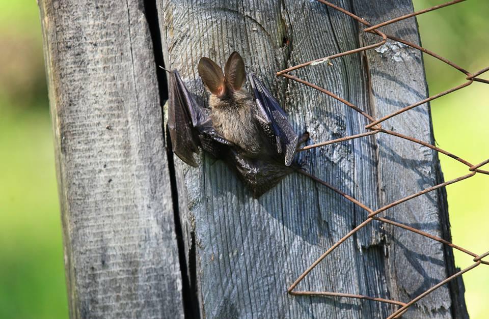 летучая мышь1