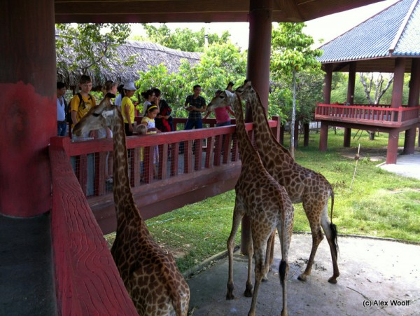 Жирафы в парке Дай Нам