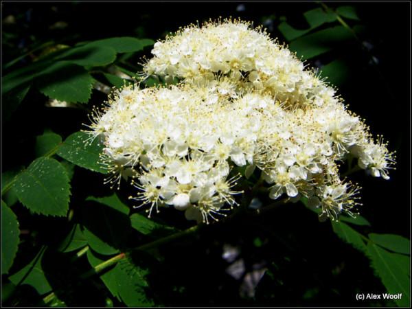 Боярышник цветет