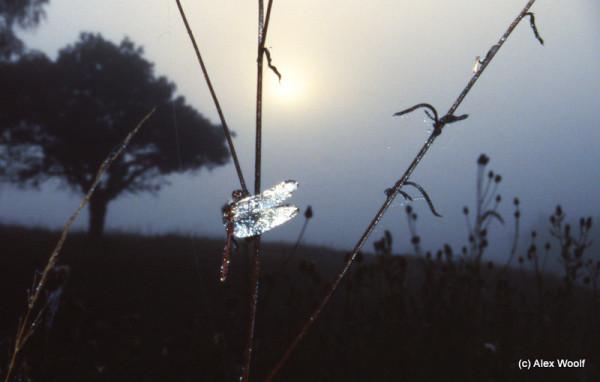 Бриллиантовая стрекоза