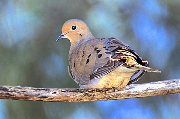 mourning-dove