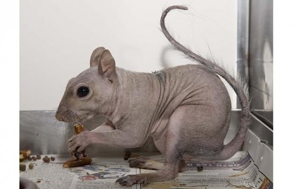 hairless-rat_1210558i