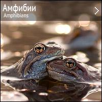 Амфибии - лягушки, жабы